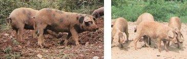 Iberisches Schwein Manchado de Jabugo (links) und Torbiscal (rechts)